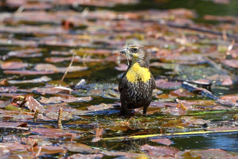 Weibliche gelbe geflügelte Amsel, die Libelle isst stockfoto