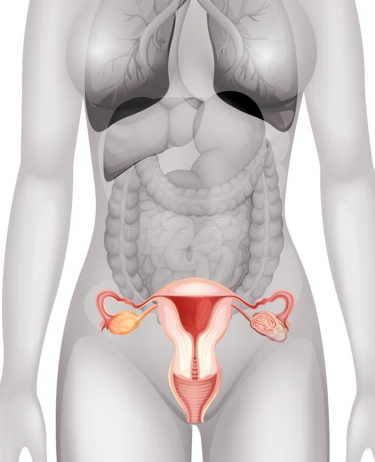 Weibliche Genitalien Im Menschlichen Körper Vektor Abbildung ...