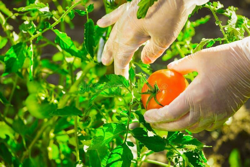 Weibliche Hände der Nahaufnahme eines Landwirts, der eine reife Tomate von einem Busch auf einem Feld zerreißt stockfoto