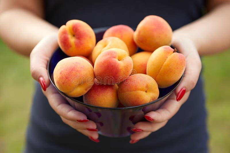 Weibliche Hände, die Aprikosen halten lizenzfreie stockfotografie