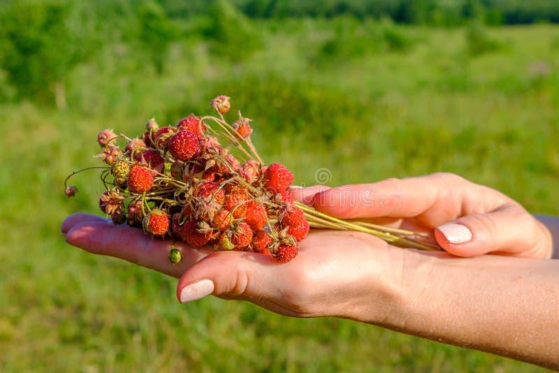 Weibliche Hände, die ein Bündel reife Beeren von wilden roten Erdbeeren halten Wohlriechende süße organische Geschenke der Natur lizenzfreie stockfotos