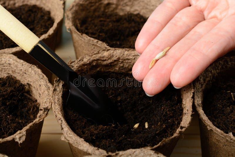 Weibliche Hände, die Samen in einem Torftopf pflanzen stockbild