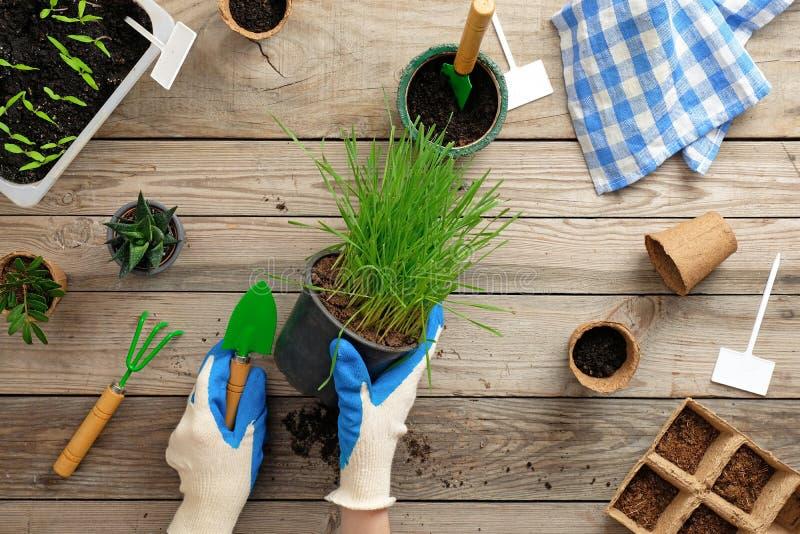 Weibliche Hände, die Topf mit Gras auf hölzernem Hintergrund der Weinlese halten Gartenarbeit oder Konzept pflanzend Garten im Fr stockfoto