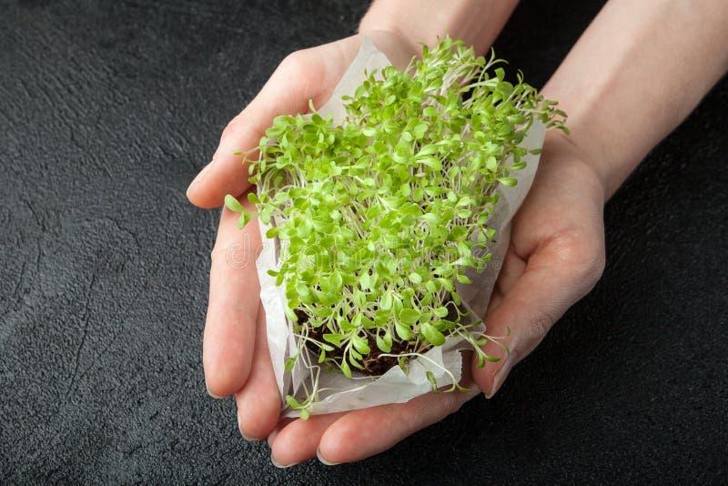 Weibliche Hände halten in der Hand Grüns eines Mikrosalats lizenzfreies stockfoto
