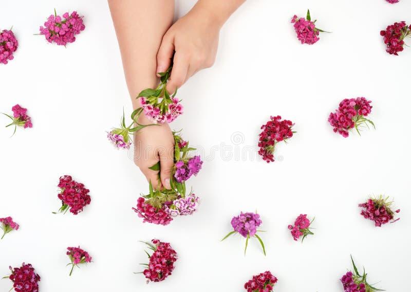 weibliche Hände mit hellen glatten Haut und den Knospen einer blühenden türkischen Gartennelke lizenzfreie stockbilder