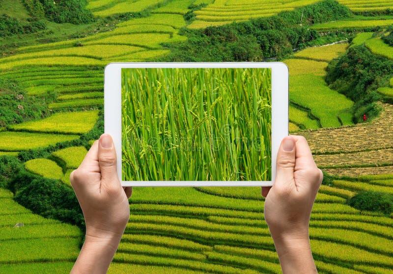 Weibliche Hände, welche die Tablette nimmt Feld des Bildungeschälten Reises halten lizenzfreie stockfotografie
