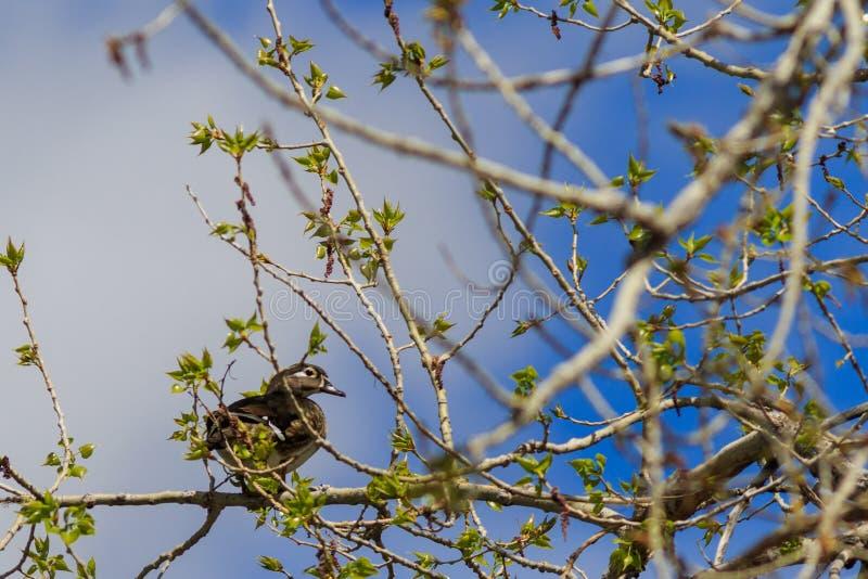 Weibliche hölzerne Ente gehockt auf einem Glied stockfoto