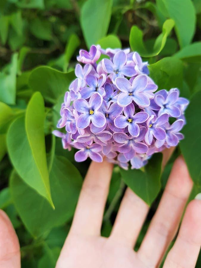 Weibliche Hand ber?hrt sch?ne kleine Blumen des lila Gartens des Baums im Fr?hjahr stockfotografie