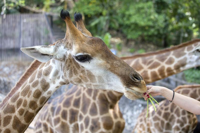 Weibliche Hand bietet Lebensmittel für eine Giraffe am Zoo, Abschluss oben an lizenzfreie stockfotos