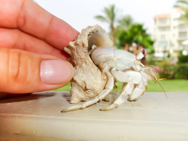 Weibliche Hand, die einen Einsiedlerkrebs auf unscharfem Urlaubshotel backgr hält lizenzfreies stockbild