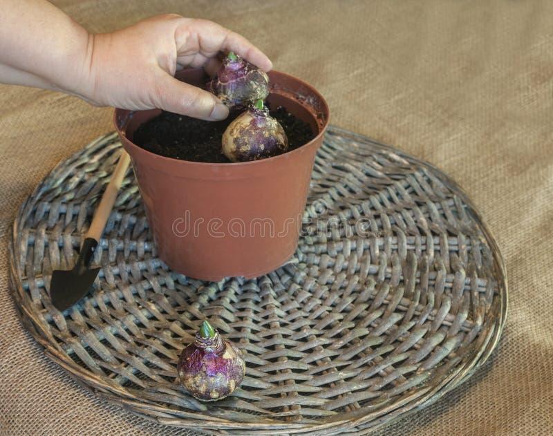 Weibliche Hand, die Hyazinthenbirnen in einem Plastiktopf pflanzt stockbilder