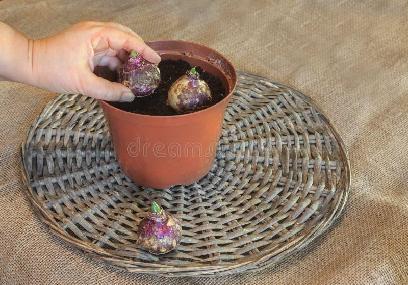 Weibliche Hand, die Hyazinthenbirnen im Topf pflanzt lizenzfreies stockbild