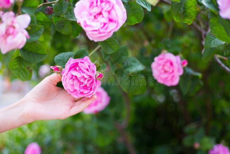 Weibliche Hand, die im Frühjahr zarte rosafarbene Blume des rosa Tees auf blühendem Busch im Freien im Garten hält stockbild
