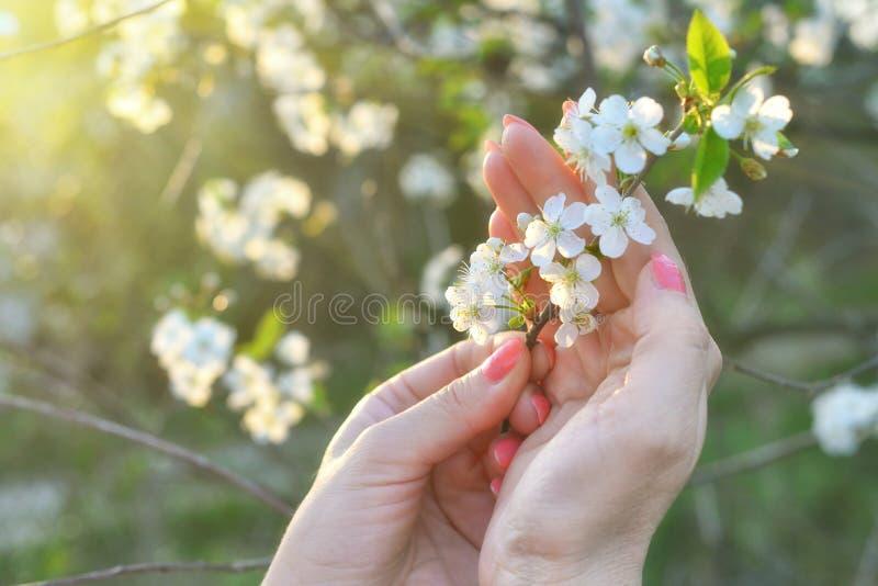 Weibliche Hand mit Apfelbaumblumen schlie?en stockfoto