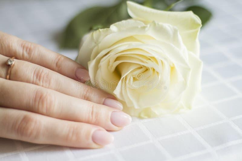 Weibliche Hand mit der Maniküre, die eine empfindliche Rose hält lizenzfreies stockfoto