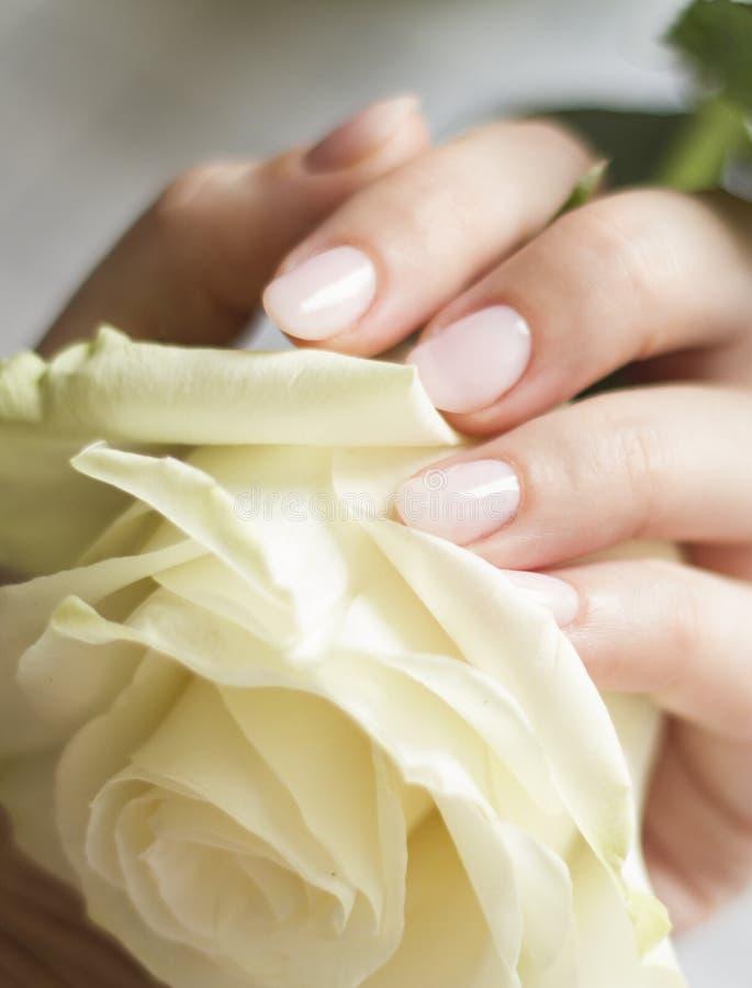 Weibliche Hand mit der Maniküre, die eine empfindliche Rose hält lizenzfreies stockbild