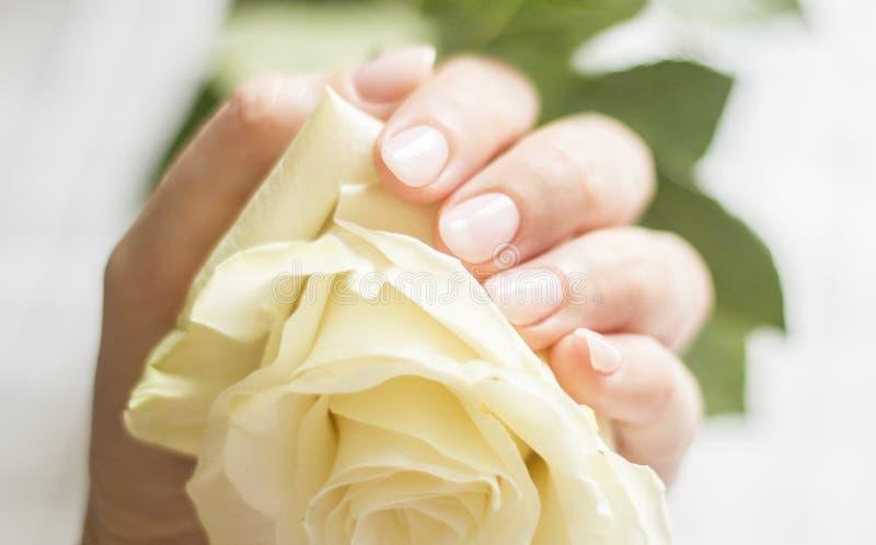 Weibliche Hand mit der Maniküre, die eine empfindliche Rose hält stockfotografie