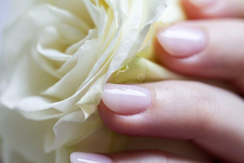 Weibliche Hand mit der Maniküre, die eine empfindliche Rose hält lizenzfreie stockfotos
