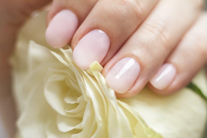 Weibliche Hand mit der Maniküre, die eine empfindliche Rose hält lizenzfreie stockbilder