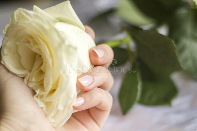 Weibliche Hand mit der Maniküre, die eine empfindliche Rose hält stockbilder