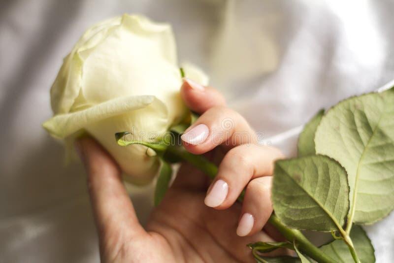 Weibliche Hand mit der Maniküre, die eine empfindliche Rose hält lizenzfreie stockfotografie