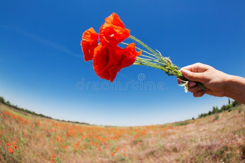 Weibliche Hand mit einem Blumenstrauß von roten Mohnblumenblumen auf dem Hintergrund der Landschaft mit Verzerrung, Konzept lizenzfreie stockfotografie