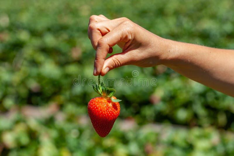 Weibliche Handholdingerdbeere stockfotos