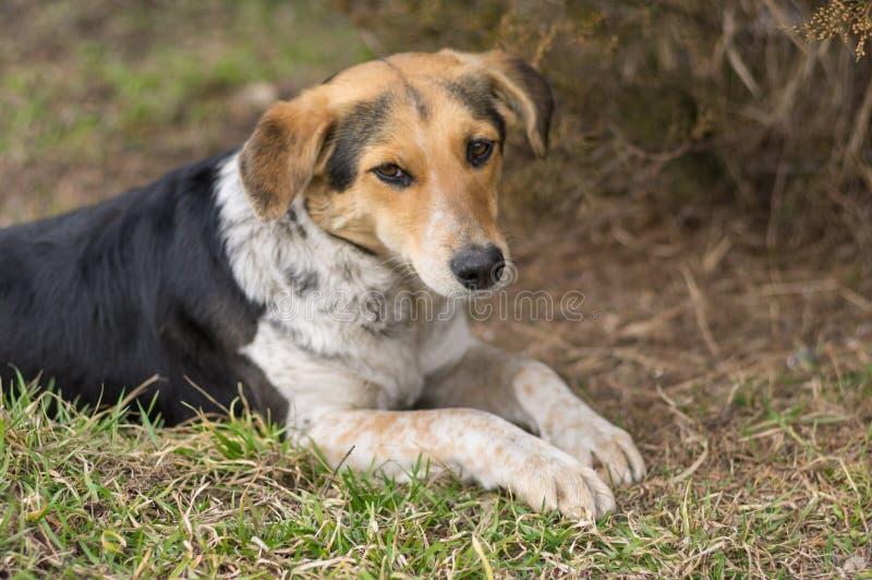 Weibliche Hunde des Mischzuchtumherirrenders, die auf einem Boden an der Vorfrühlingsjahreszeit liegen lizenzfreie stockfotos