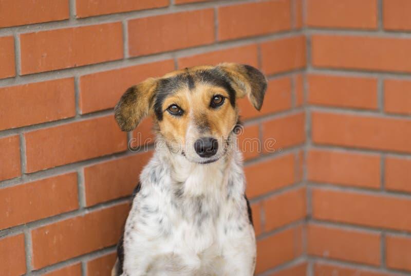 Weibliche Hunde des Mischzuchtumherirrenders, die gegen Backsteinmauer sitzen und Lebensmittel bitten stockbilder