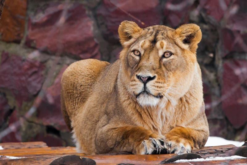 Weibliche Lügen einer schönen Löwin und Blicke, dunkler Hintergrund lizenzfreies stockfoto