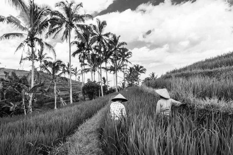 Weibliche Landwirte, die in den Jatiluwih-Reisterrassenanlagen auf Bali, Indonesien, Südostasien arbeiten Fase gezeichnet unter V stockfoto