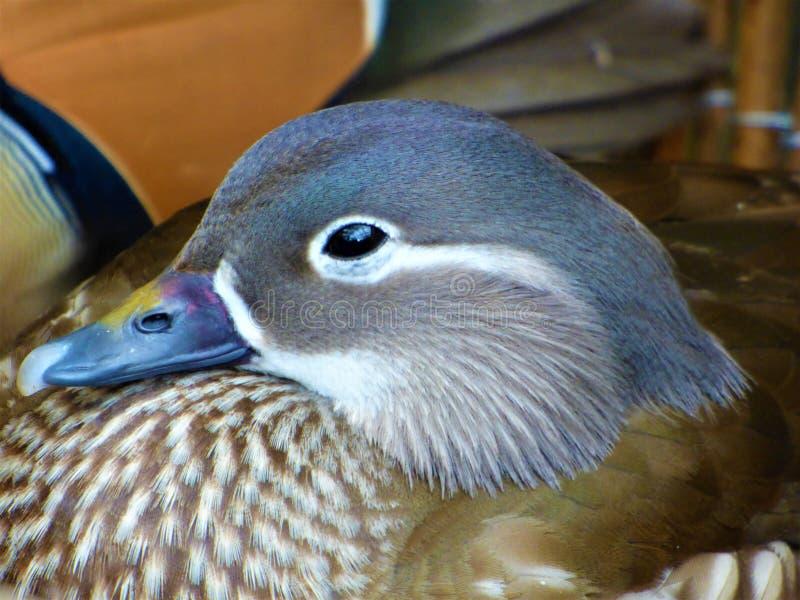 Weibliche Mandarinen-Ente lizenzfreie stockfotografie