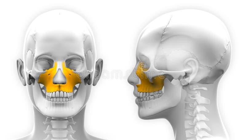 Weibliche Maxilla-Knochen-Schädel-Anatomie - Lokalisiert Auf Weiß ...