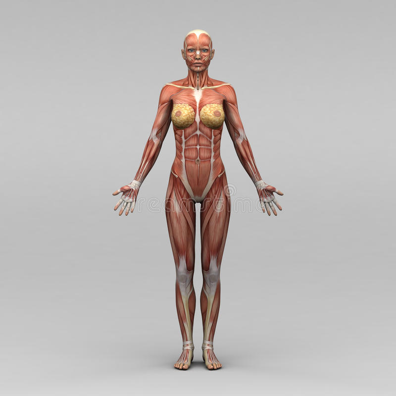 Weibliche Menschliche Anatomie Und Muskeln Stock Abbildung ...