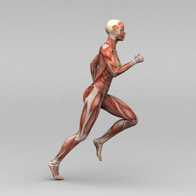 Weibliche menschliche Anatomie und Muskeln vektor abbildung