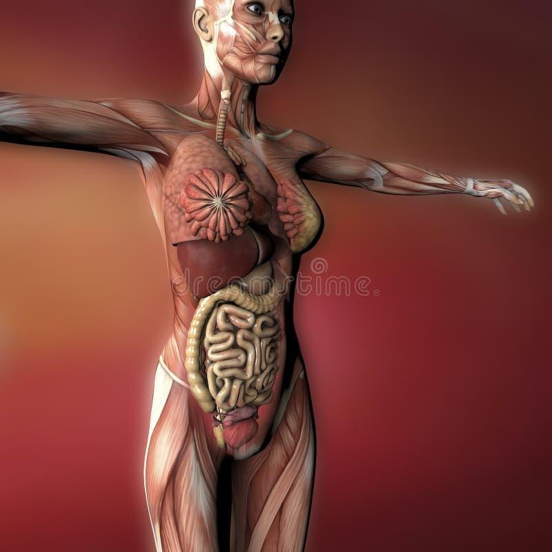 Weibliche Menschlicher Körper-Anatomie Stock Abbildung ...