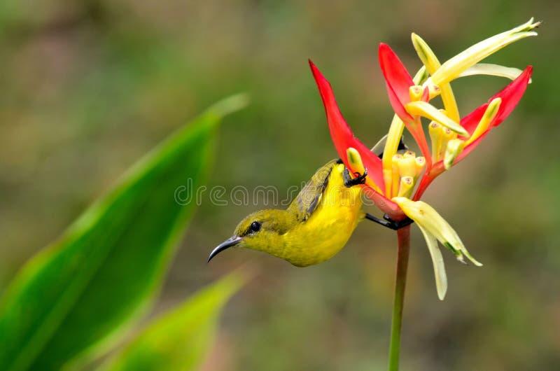 Weibliche Olive Backed Sunbird haftet Heliconia-Anlage an lizenzfreie stockfotografie