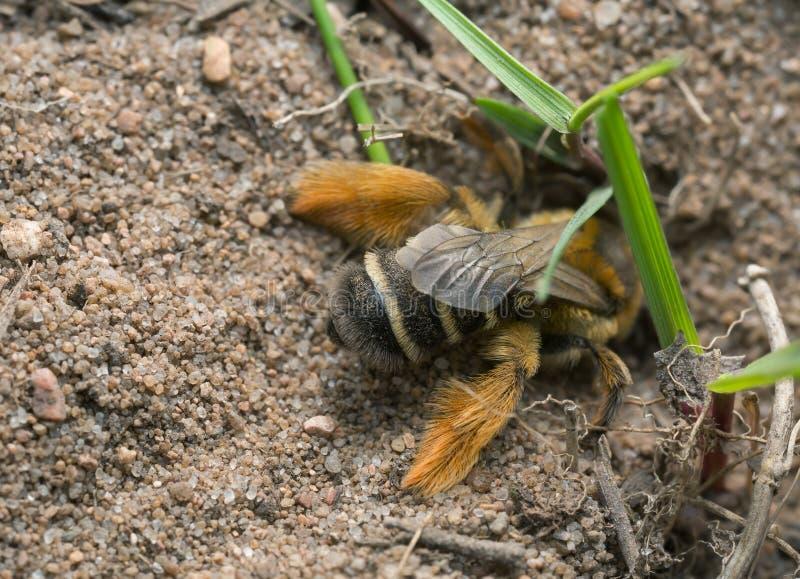 Weibliche pantaloon Biene, Dasypoda-hirtipes grabend in Sand lizenzfreie stockfotos