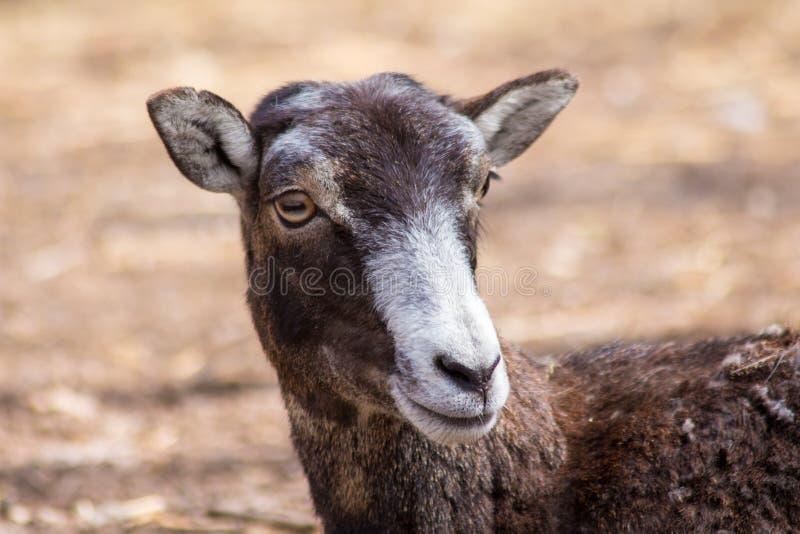 Weibliche Park-Natur Muflon stockbilder