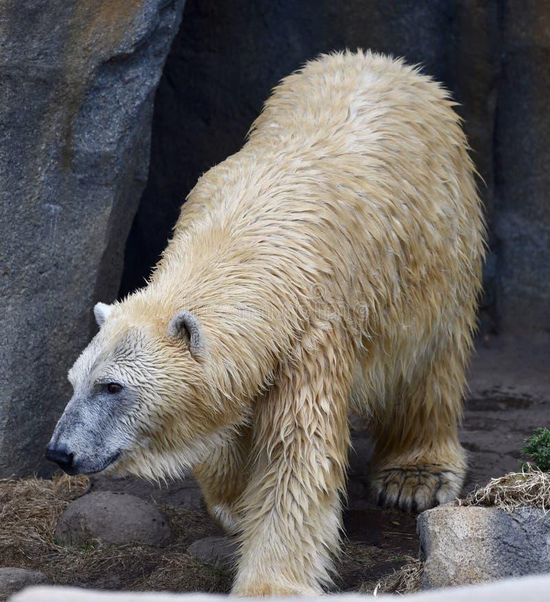Weibliche polare betreffen den Prowl stockfotos