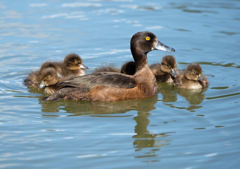 Weibliche Reiherente mit Jungen auf dem See stockfoto