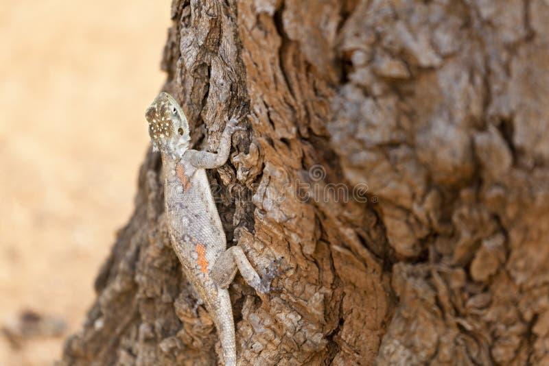 Weibliche rothaarige Felsen-Dickzungeneidechse in Kenia lizenzfreies stockfoto