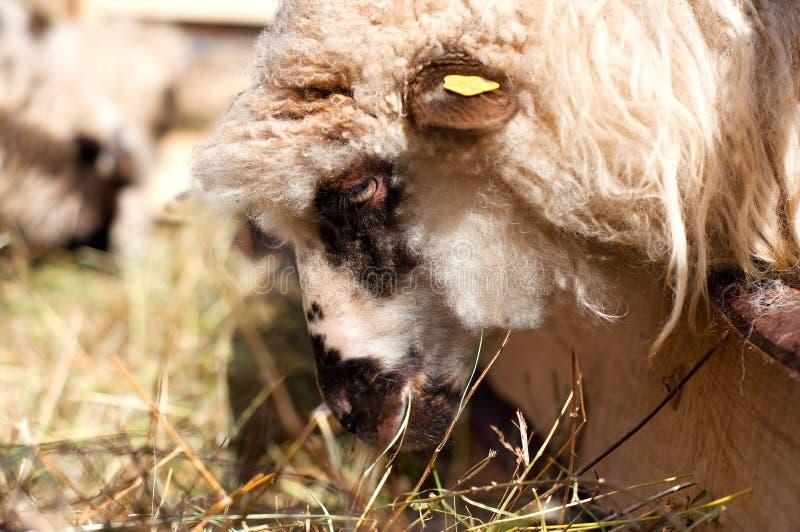Weibliche Schafe, die im byre mit der Menge essen lizenzfreie stockbilder