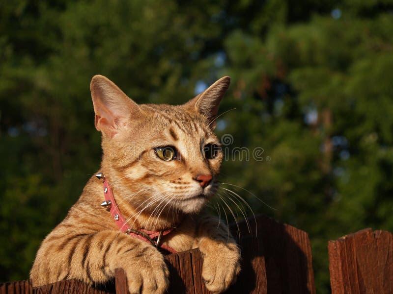 Weibliche Serval-Savanne-Katze stockfotos