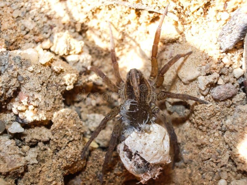 Weibliche Spinne mit einem Kokon lizenzfreies stockbild
