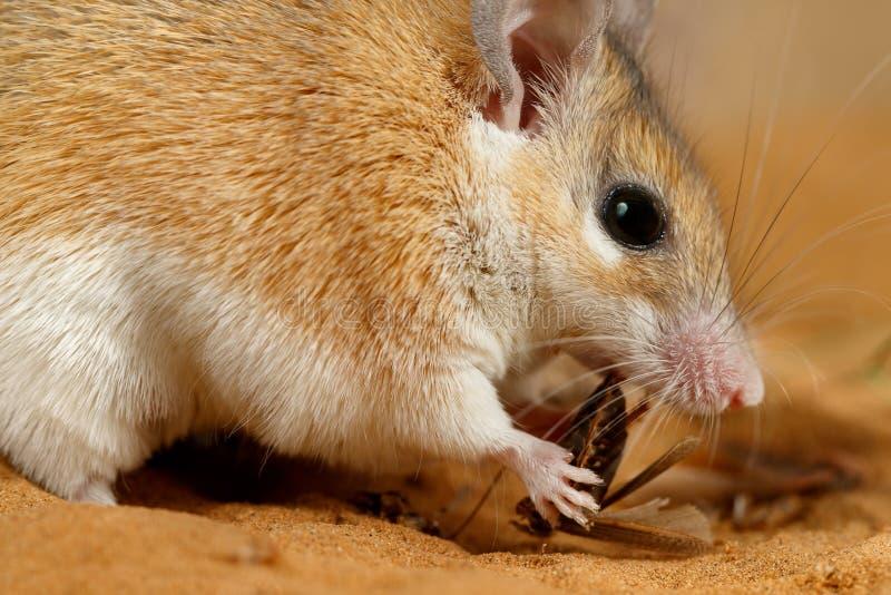 Weibliche stachelige Maus der Nahaufnahme isst Insekt auf dem Sand lizenzfreies stockbild