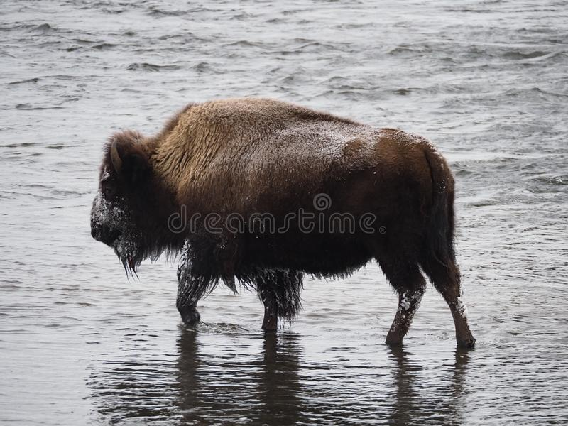 Weiblicher Amerikaner Bison Wading Snowy in Madison River lizenzfreies stockbild