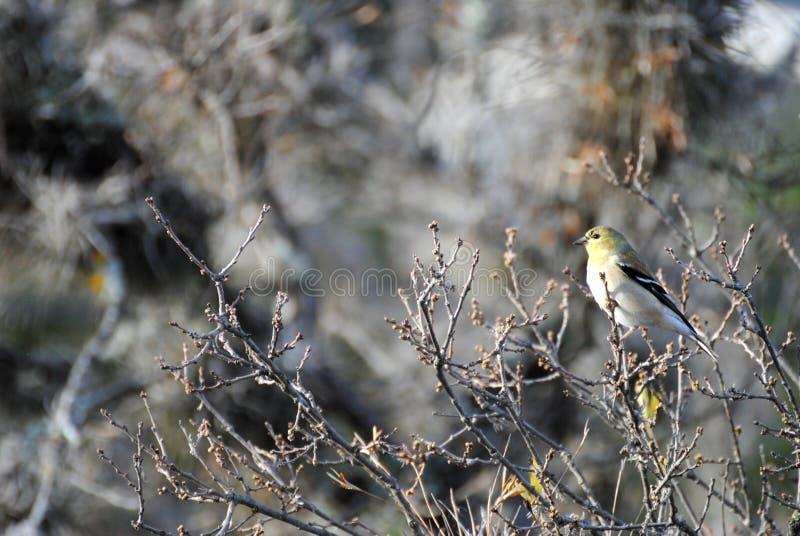 Weiblicher amerikanischer Goldfinch lizenzfreie stockbilder