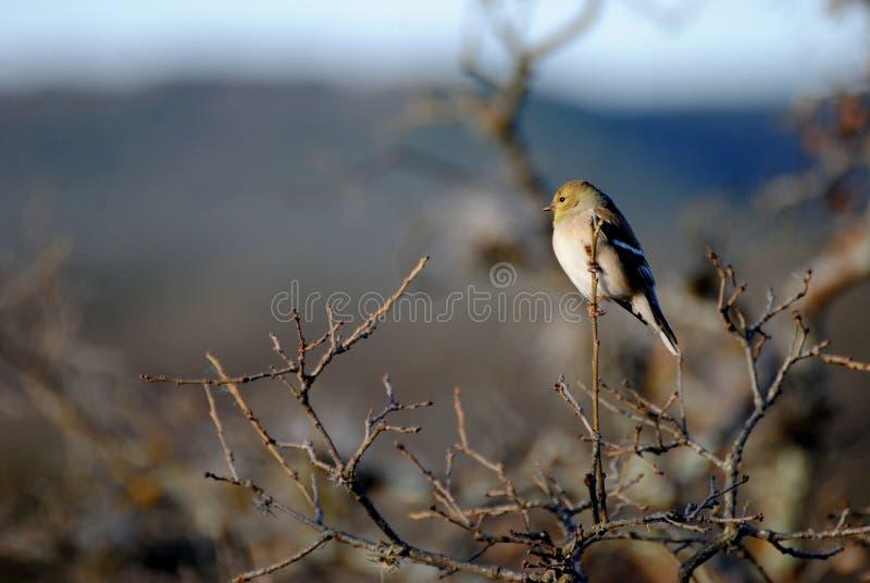 Weiblicher amerikanischer Goldfinch lizenzfreies stockbild