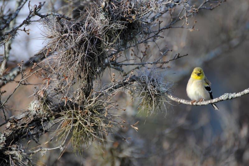 Weiblicher amerikanischer Goldfinch stockfotografie